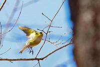 黄色い鳥、マヒワ - 上州自然散策2
