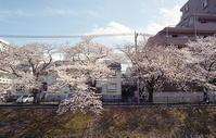 フィルムで桜 - alors  photos ライカと50mmで