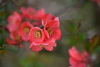Japanese Quince - ∞ infinity ∞