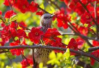 「ボケの花とヒヨドリ」4月3日 - ヤソッチひだまり写真館