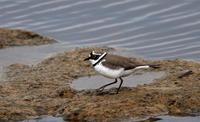 MFの沼でもコチドリ・オジロトウネンを見る事が出来ます - 私の鳥撮り散歩