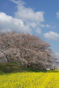 藤原宮跡桜と菜の花畑 - まほろば 写真俳句