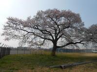 入れない場所の一本桜 - のび丸亭の「奥様ごはんですよ」日本ワインと日々の料理