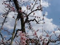 事務所周辺の開花情報 - 光匠園の庭造り日記