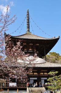 根来寺桜 - ♪一枚のphotograph♪