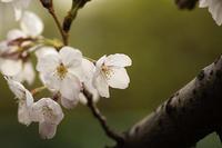 今期の桜を - 松露園 blog