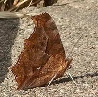 #チョウ  『黄立羽』 Polygonia c-aureum - 自然感察 *nature feeling*