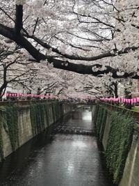春の日の花と輝く - Harp by KIKI