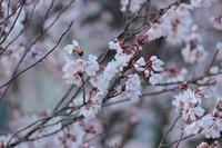 桜1号!(花見山 2019.3.30) - 風の中で~