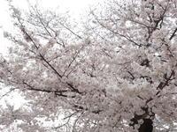 恒例の桜 - Iris Accessories Blog