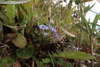 ■春の花 3種 (3)19.4.3(フデリンドウ、ツボスミレ、ムラサキケマン) - 舞岡公園の自然2