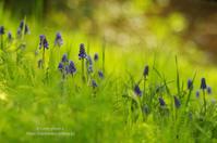 春の花たち*Ⅰ -ムスカリ- - It's only photo 2