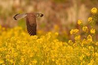お花見鳥⑭菜の花チョウゲンボウ - 花野鳥風月MISCHEH