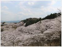 今年は寒い日もあったりで、桜が長く楽しめそう~吉四六ランドお花見の続きです - さくらおばちゃんの趣味悠遊