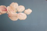 水辺に浮かぶ桜の花びら? - Little hobby