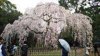 京都御苑:お花見 - お休みの日は~お散歩行こう