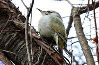 ヤマゲラ - 今日の鳥さんⅡ