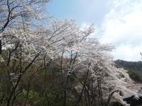 日陰つつじ咲く明王山 (380M)    登頂 編 - 風の便り