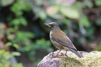 シロハラ小さな滝で採餌中 - 気まぐれ野鳥写真