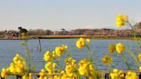 多々良沼の桜2019(その1)・・・桜並木を対岸から遠望す - 『私のデジタル写真眼』