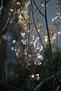 サクラ咲く近所 - みるはな写真くらぶ
