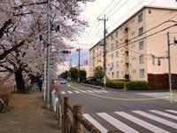 清瀬・台田団地と柳瀬川の桜並木 - 黄色い電車に乗せて…