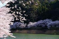 庭木の桜 - きずなの家創り