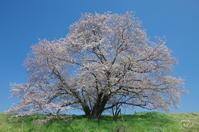 天理市杣之内町幾坂池の桜 - ぶらり記録:2 奈良・大阪・・・