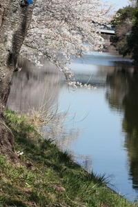 福岡堰の桜 - 燕雀の夢