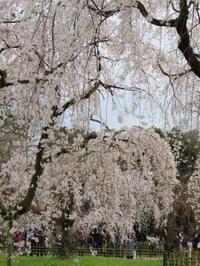 「桜咲く大日本ぞ日本ぞ」一茶。花の御所・ご覧あれ。 -  「幾一里のブログ」 京都から ・・・