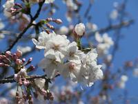 平成最後の桜 - 十色生活