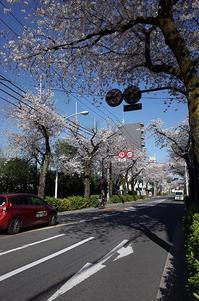 桜4月3日新青梅街道にて - 鳥会えず猫生活