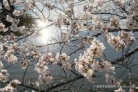 奈良公園浮見堂の桜 cherry blossoms are full in bloom. - 奈良と  大和写真家™「影向」 Nara and Japanism by高畑写真事務所