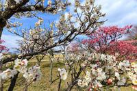 梅小路公園の紅白梅 - 花景色-K.W.C. PhotoBlog
