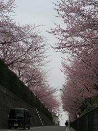 植木の町安行の桜 - 活花生活(2)
