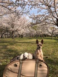 桜舞い散る - littleones -ココチネブログ-