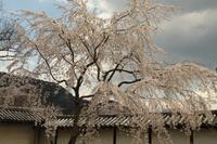 醍醐の桜 - 浜千鳥写真館