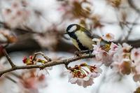 桜とシジュウカラ - あだっちゃんの花鳥風月