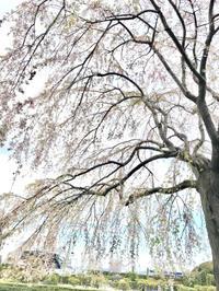 しだれ桜とお薬(昨日と今日のこと)。。。♪ - umi no oto ♪