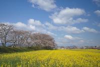 藤原宮跡桜と菜の花畑 Ⅱ - まほろば 写真俳句