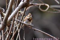 少なくなってきた冬鳥 - 気ままな生き物撮り