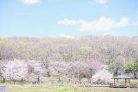 SAKURAの季節のBirthday☆ - じゅうべえな日々♪