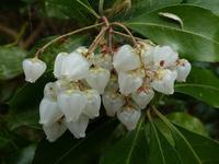 木々の花(アセビ、アケボノアセビ、アオキ、アオバナアオキ、ツルニチニチソウ、アカメガシワ)、ヒメリュウキンカ、シュンラン - 花と葉っぱ