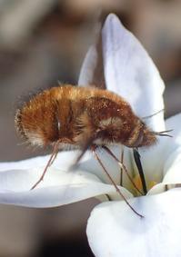 ビロウドツリアブ Bombylius major - 写ればおっけー。コンデジで虫写真