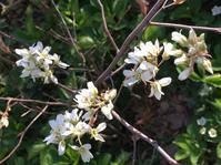 ジューンベリーと桃の花 - いととはり