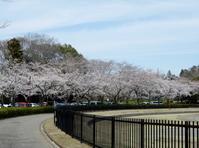 平成最後の<桜>を見に。。。 - 【出逢いの花々】