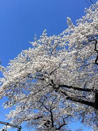 再入院の春国立の桜 - ずっとそばに