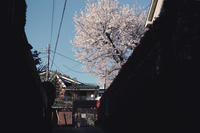 さくら2019 - IN MY LIFE Photograph
