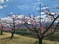 春の笛吹でお花見。 - Welcome to Koro's Garden!