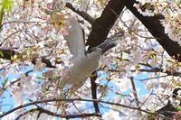 カワセミ散歩2097 (オオタカと桜) - Photo Gallery 福田